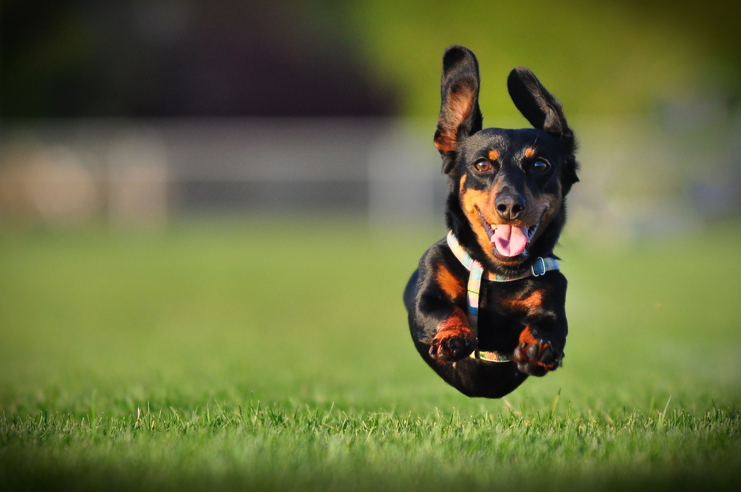 bigstock-dog-running-6241804